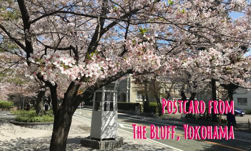 sakura in bloom in minato mirai Yokohama