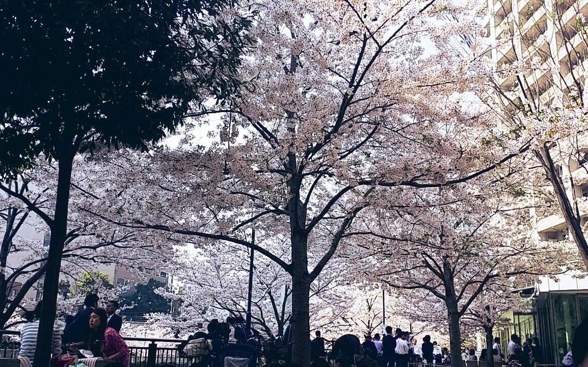 Hanami party in Japan